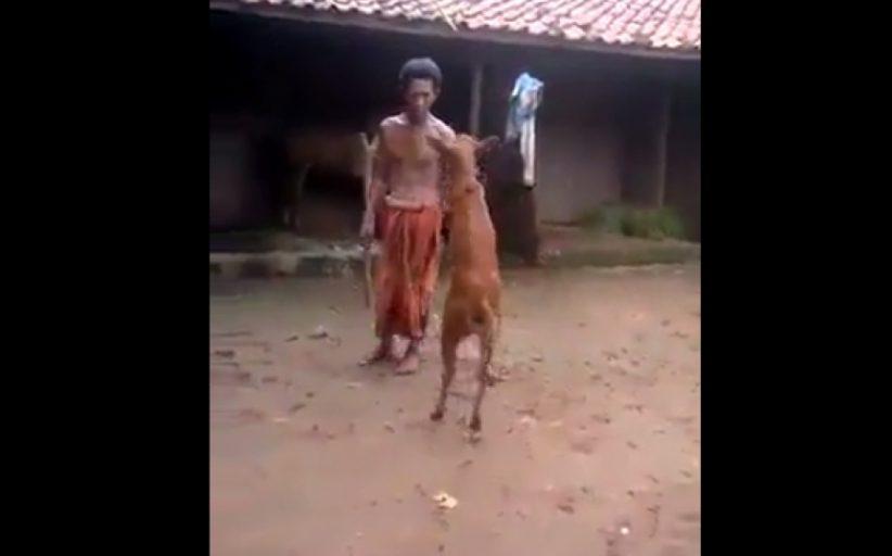 Κι όμως! Αυτή η αγελάδα μπορεί και περπατάει όρθια