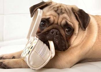 10 βήματα για να σταματήσει ο σκύλος σας να μασάει διάφορα αντικείμενα